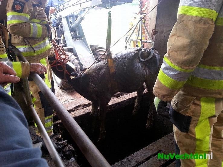 Brandweer redt kalf uit mestkelder Langsweg Dalfsen - Foto: Niels Jansen
